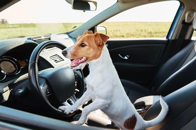 ジャックラッセルテリア犬は運転手が座っている車の中に座っています。犬との旅行