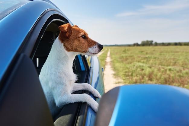 ジャックラッセルテリア犬は運転手に座って車の中に座っています