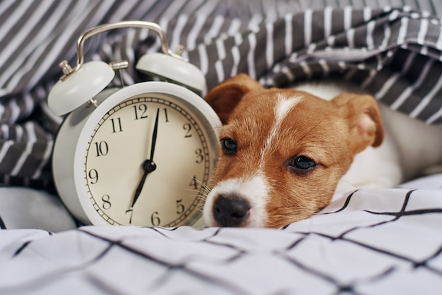 Jack russell terrier dog sleeps in bed with vintage alarm clock. wake up and morning concept