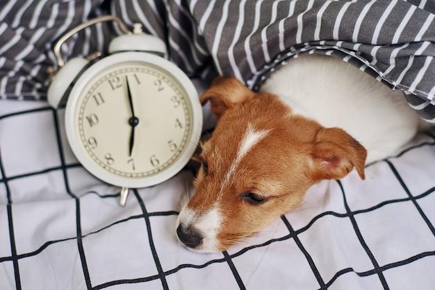 ジャックラッセルテリア犬はヴィンテージの目覚まし時計が付いているベッドで眠る。目を覚ますと朝のコンセプト