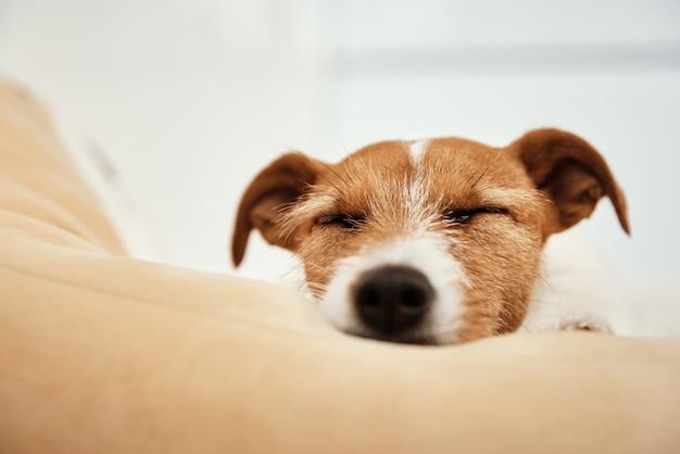 Джек-рассел-терьер спит в постели