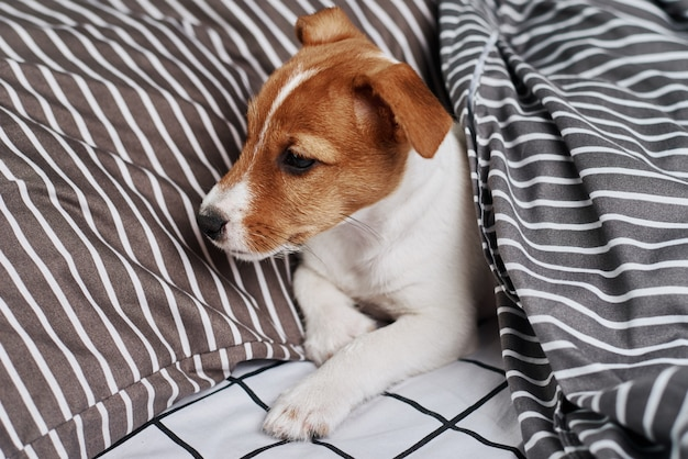 ベッドの毛布の下のジャックラッセルテリア犬