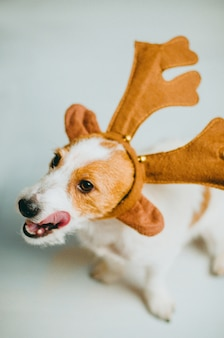 Собака джек-рассел-терьера в оленьих рогах, облизывающая языком