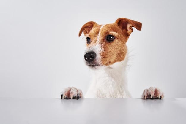 テーブルの上に足を持つジャックラッセルテリア犬。かわいい犬の肖像画