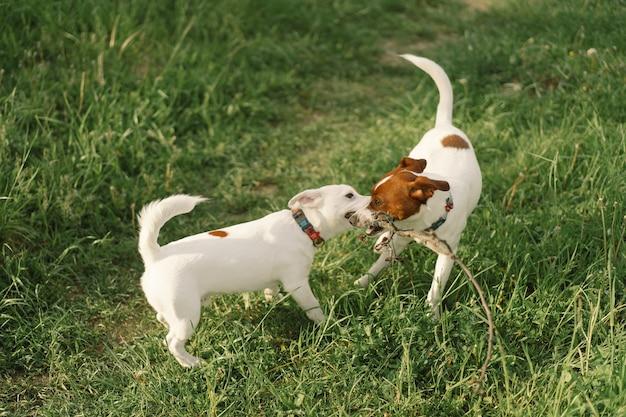 Джек-рассел-терьер собаки на лугу. джек-рассел-терьер собаки в природе.