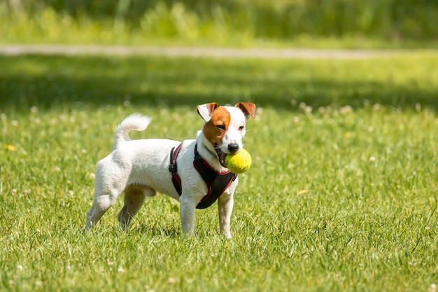 Jack russell terrier on the grass
