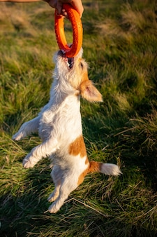 Jack russell terrier holds on to an orange toy ring and hangs in the air