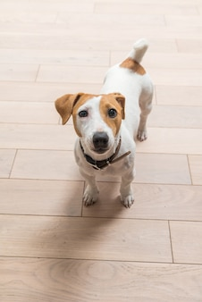 Jack russell terrier at home