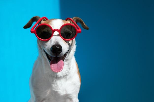 Джек-рассел-терьер в круглых красных солнцезащитных очках смотрит в камеру на синем