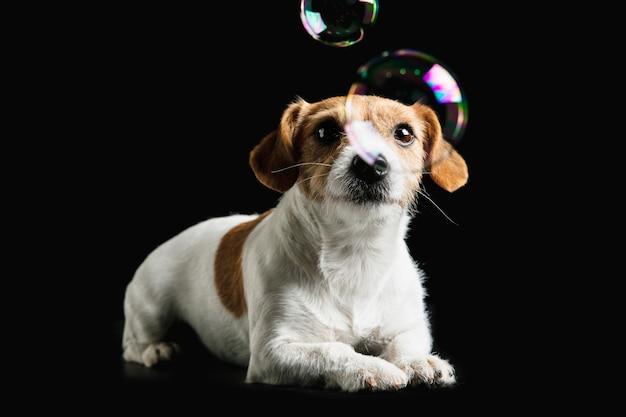 잭 러셀 테리어 작은 개가 포즈를 취하고 있습니다. 검은 스튜디오 배경에 귀여운 장난 강아지 또는 애완 동물.