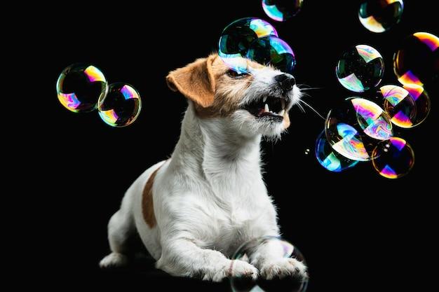 ジャックラッセルテリアの小さな犬がポーズを取っています。黒のスタジオの背景で遊ぶかわいい遊び心のある犬やペット。