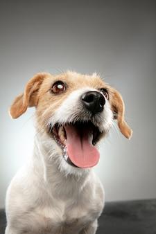 ジャックラッセルテリアの小さな犬がポーズを取っています。灰色のスタジオの背景で遊ぶかわいい遊び心のある犬やペット。