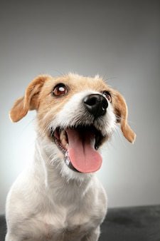 Jack russell terrier little dog is posing. cute playful doggy or pet playing on gray studio background.