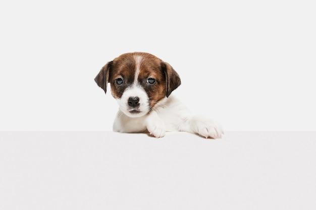 Jack russell terrier piccolo doggy che esercita, posa isolato sulla parete bianca. l'amore dell'animale domestico, il concetto di emozioni divertenti. copyspace per l'annuncio. in posa carino.