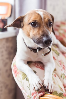 Jack russell terrier lying at home. pet and household concept.