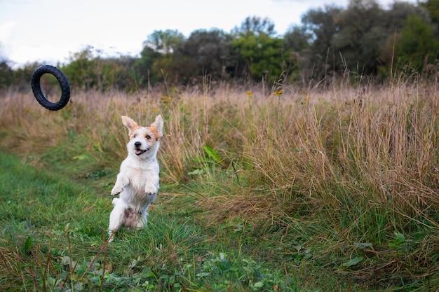잭 러셀 테리어 강아지가 공중에서 고무 링을 잡습니다.