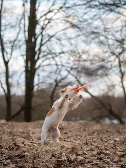 Jack russell terrier puppy caught his first plate of frisbee