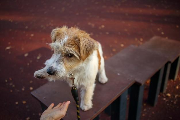 ジャックラッセルテリアの子犬は、コマンドで女の子に足を与えます