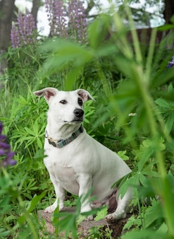 Jack russell terrier puppy in the grass