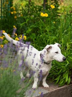草の中のジャックラッセルテリアの子犬