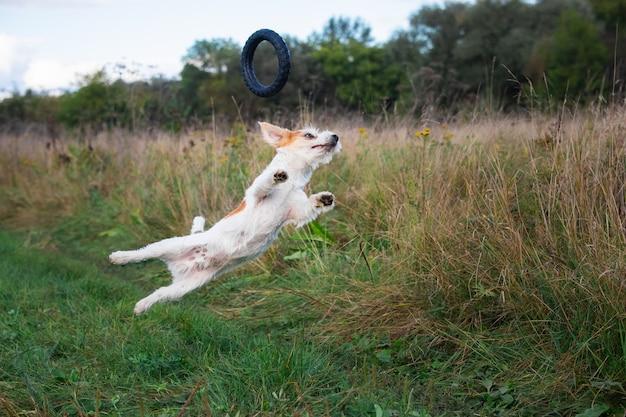 검은 고무 링 뒤에서 점프하는 잭 러셀 테리어 강아지