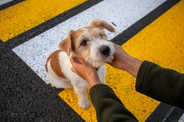 横断歩道で女の子を探しているジャックラッセルテリアの子犬