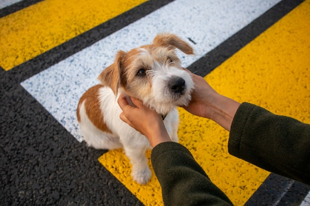 Jack russell terrier puppy looking girl at the crosswalk