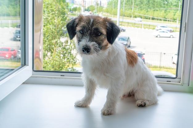 開いている窓の近くのジャックラッセルテリアの子犬開いている窓と秋の危険の概念