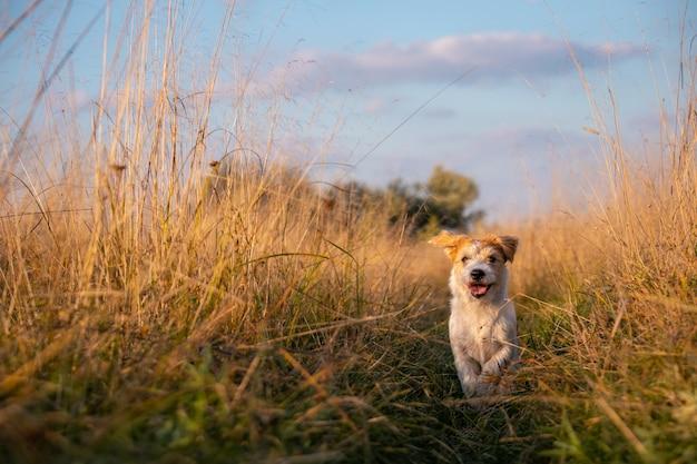 잭 러셀 테리어 강아지는 키 큰 가을 풀밭에서 들판을 달리고 있습니다.