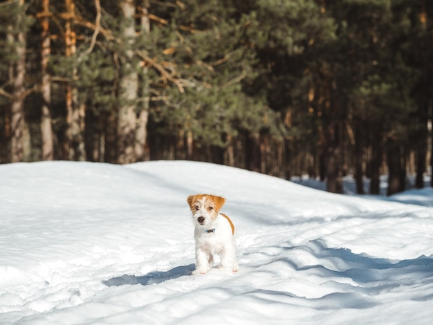 Jack russell terrier puppy running through the winter forest.