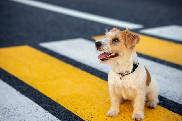 ジャックラッセルテリアの子犬は、道路を横断する横断歩道を一人で走ります