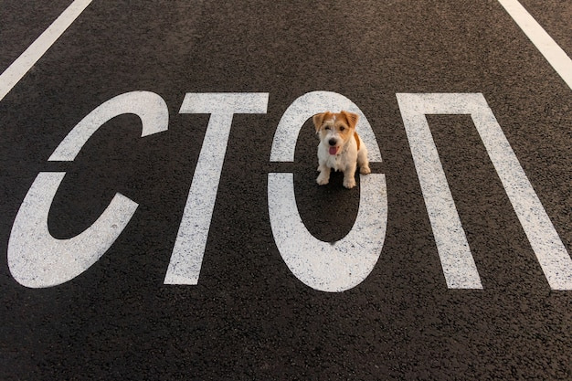 Jack russell terrier running on the asphalt next to a painted stop road sign