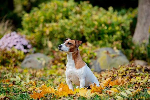Джек-рассел-терьер сидит на листьях в осеннем саду