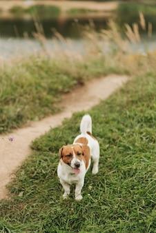 잭 러셀 테리어 잔디에 걷기. 애완 동물