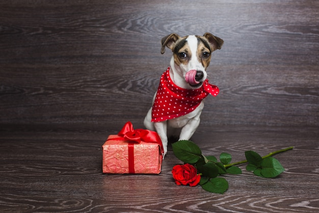 Jack russell terrier with festive gift box.