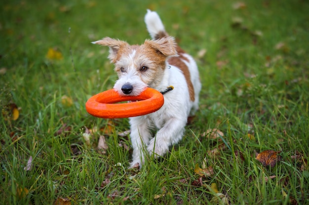 Jack russell terrier with an orange rubber ring in his teeth in the park on green grass with fallen yellow autumn leaves