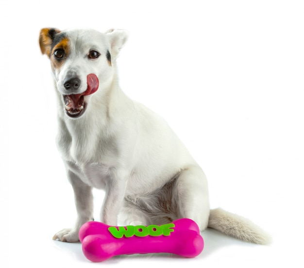 Jack russell with a rubber bone