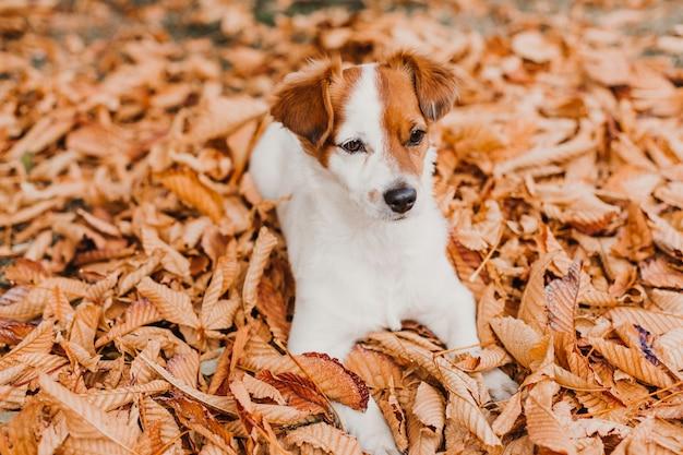 Милая маленькая собака терьера рассела jack лежа на коричневых листьях внешних. осенняя концепция
