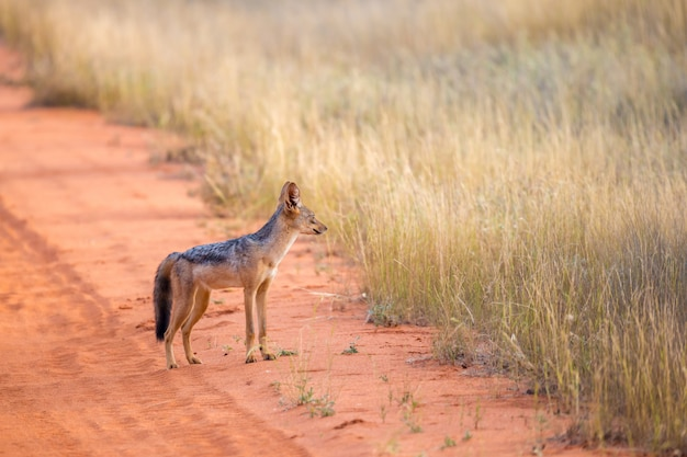 Jackal on the road are posing and watching