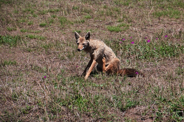 Jackal on safari in kenia and tanzania, africa