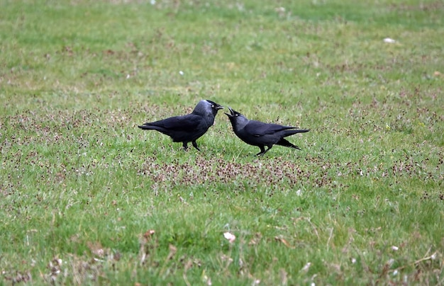 Jackdaw parent feeding its baby on a field of grass