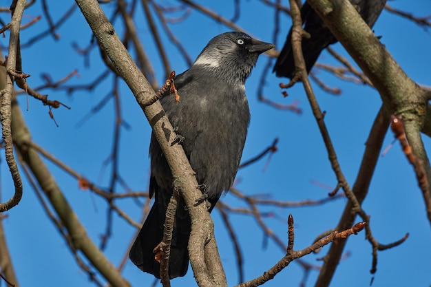 Jackdaw sitting on a branch of chestnut.
