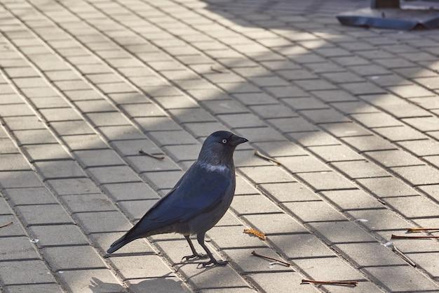 Галка ходит по городской площади в поисках чего-нибудь съедобного.