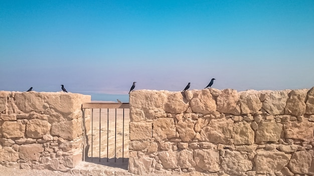 Jackdaws on the panorama of masada fortress in israel.