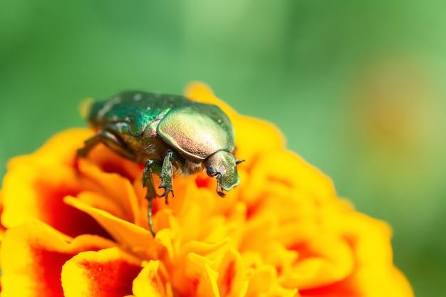 Жакет из роз или зеленых роз (cetonia aurata) на ладони