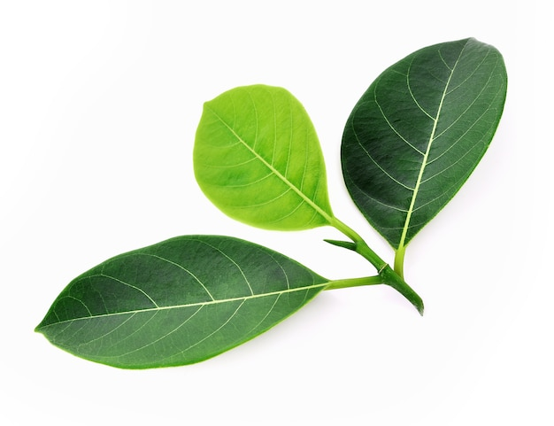 Jackfruit 잎에 고립 된 흰색 배경