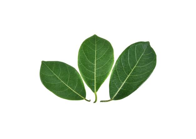 흰색 바탕에 jackfruit 잎