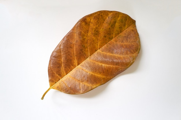 Jackfruit's leaf in white background.