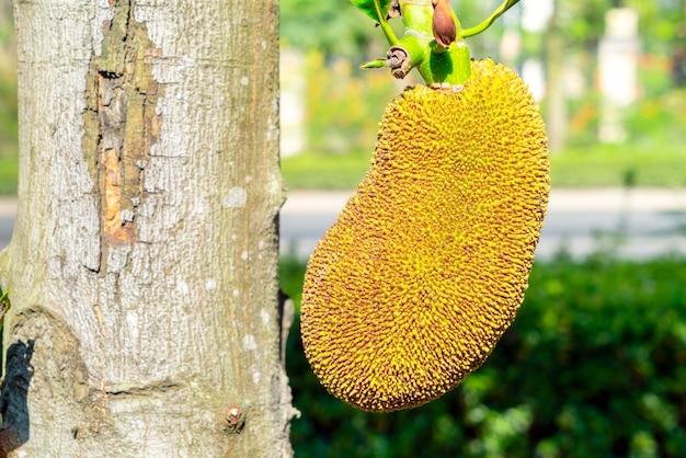 Jackfruit 나무와 어린 jackfruits