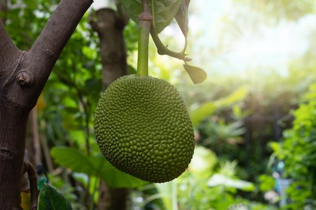 Jackfruit tree and sweet jackfruit, tropical fruit in thailand.